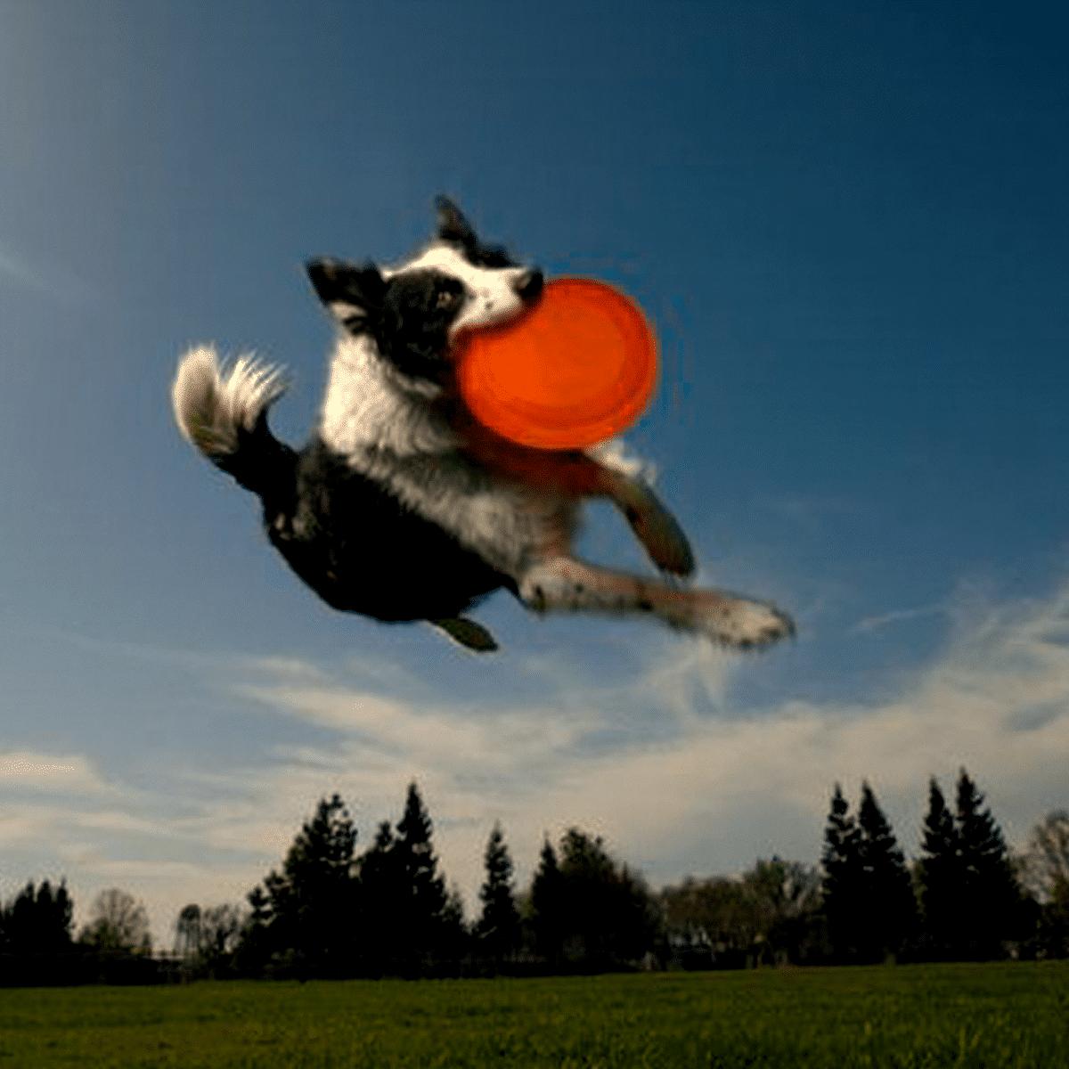 Throw bowl både frisbee och vattenskål till hunden