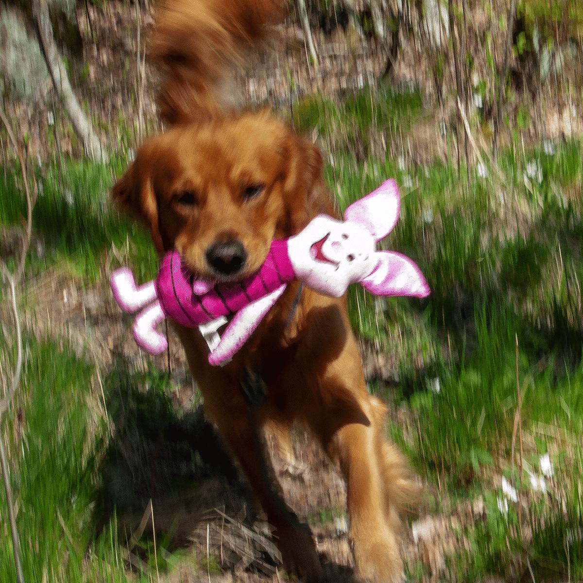 Golden retriever med sin älskade leksak- Nasse