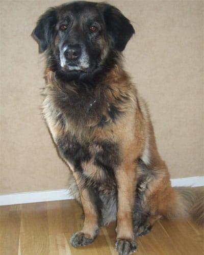 Cão da Serra da Estrela- Astra