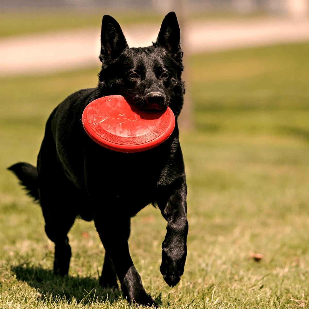 En hållbar frisbee till hunden från välkända KONG