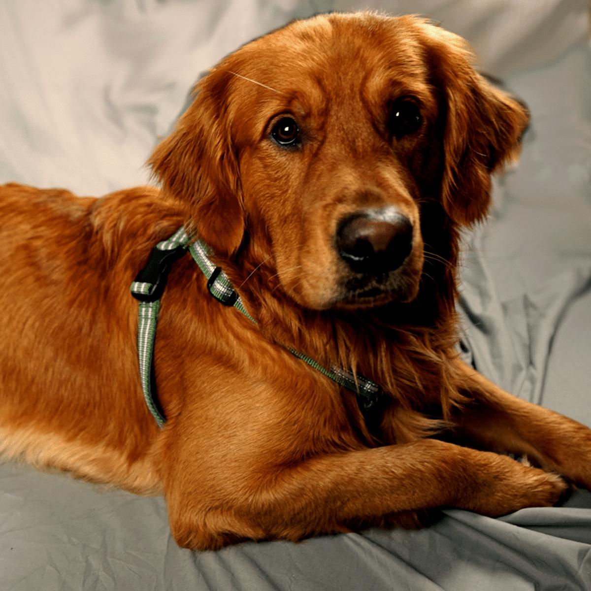 Metizoselen- en skön hundsele med antidrag funktion